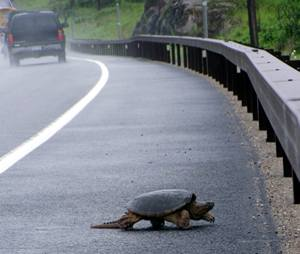 Turtle on NY 3 + 30, 2 miles east of Tupper Lake Village